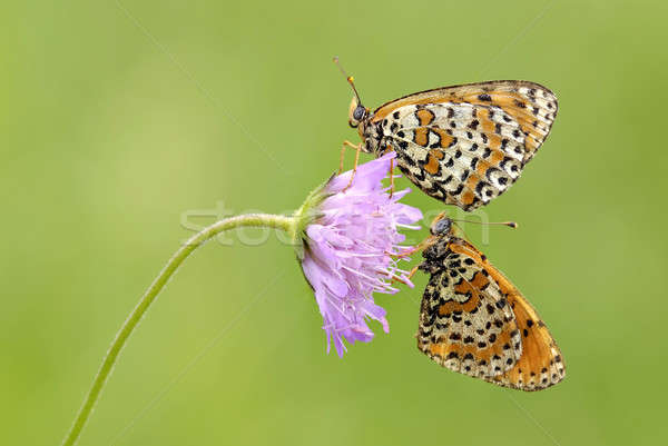 2006, Mantua, Nature Reserve Bosco della Fontana: Couple of butterflies on flower  Stock photo © AlessandroZocc
