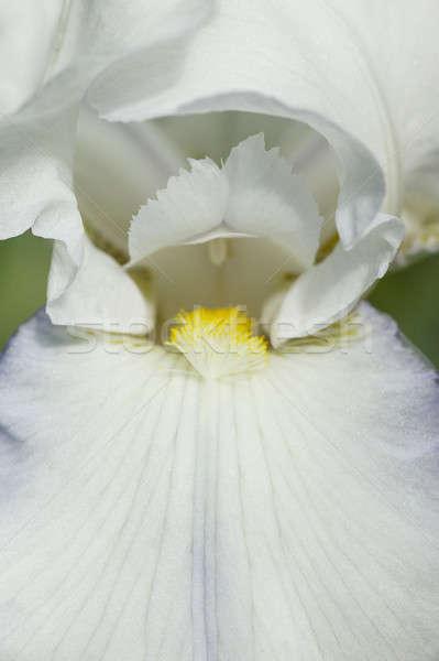 подробность Iris цветок полный весны цвести Сток-фото © AlessandroZocc