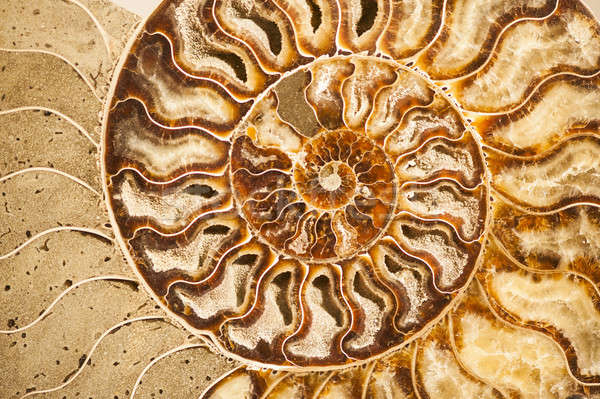 Detail of ammonite fossil shell  Stock photo © AlessandroZocc