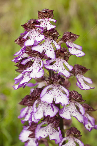 Orchis purpurea, the lady orchid Stock photo © AlessandroZocc