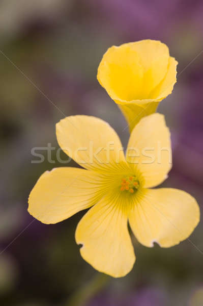 Yellow flowers of clower plants  Stock photo © AlessandroZocc