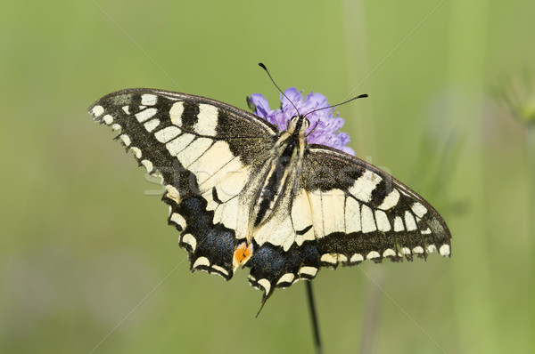 A Scarce Swallowtail (Iphiclides podalirius) butterfly on a purple meadow flower Stock photo © AlessandroZocc