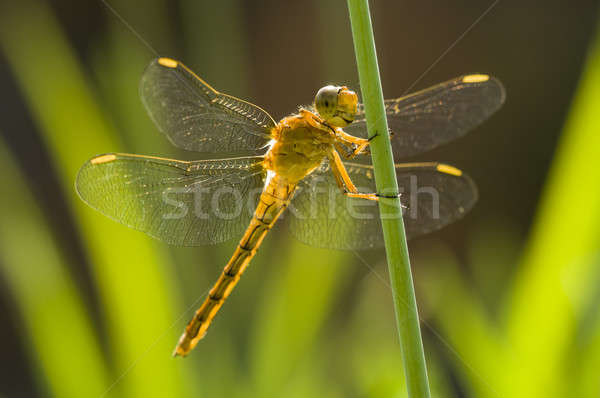Yellow Dragonfly perched on a stick  Stock photo © AlessandroZocc
