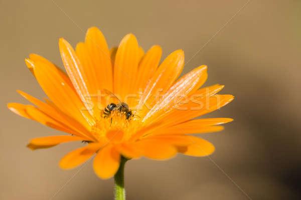 Méh narancs virág gyűjt virágpor nektár Stock fotó © AlessandroZocc