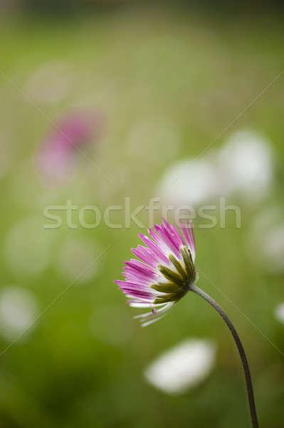 Papatya çiçek pembe beyaz yaprakları Stok fotoğraf © AlessandroZocc