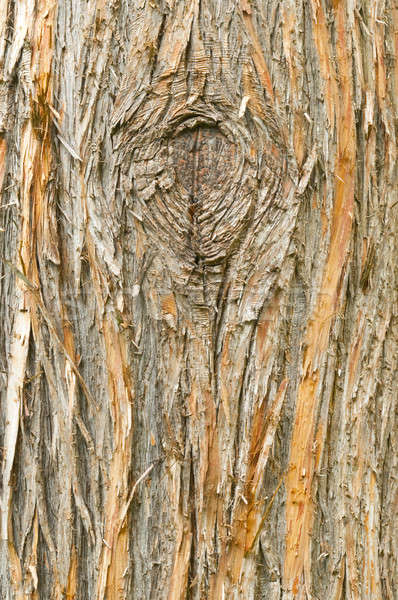 Detail of the European yew, taxus baccata, tree bark Stock photo © AlessandroZocc
