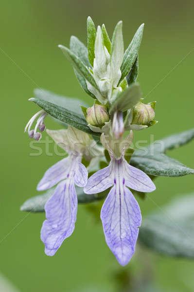 Violet bloemen bloem groene paars Stockfoto © AlessandroZocc