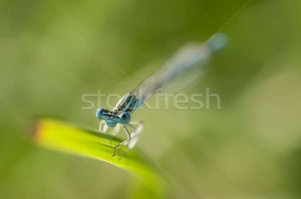 Blue damselfly perched on a blade of grass Stock photo © AlessandroZocc