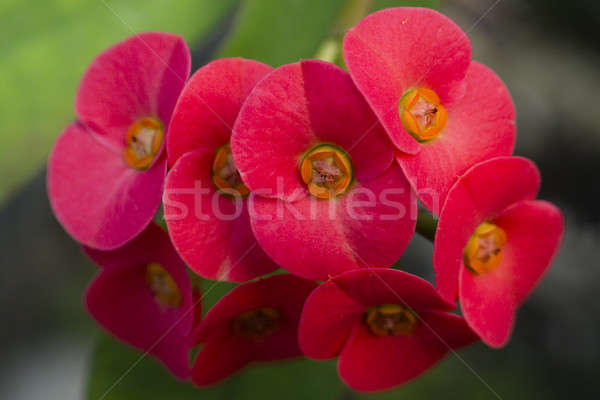 Flowers of Euphorbia milii, crown of thorns,  Stock photo © AlessandroZocc