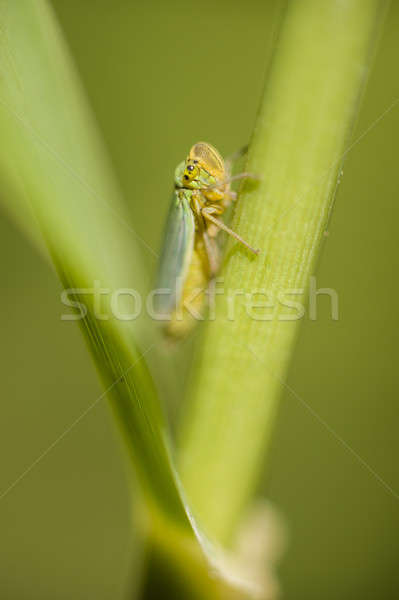 Small cicada hiding between a leaf and stalk  Stock photo © AlessandroZocc