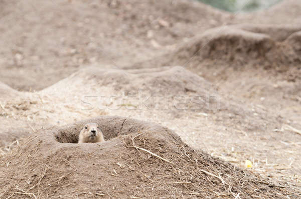 Prairie dogs (Cynomys) are burrowing rodents native to the grass Stock photo © AlessandroZocc