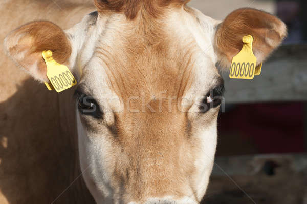 Stock photo: Adult female Dairy cattle (dairy cows) of the species Bos taurus