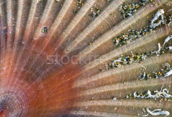 Closeup of a Stranded sea shell, Pecten   Stock photo © AlessandroZocc