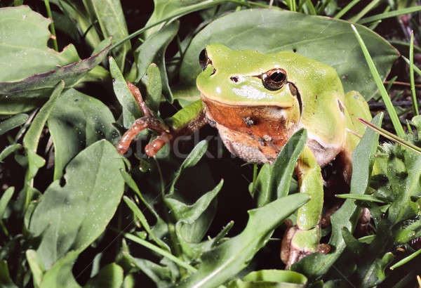 Closeup of a green frog, Hyla, on grass Stock photo © AlessandroZocc