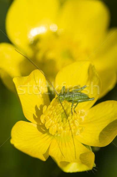 Groene sprinkhaan gele bloem zon voorjaar natuur Stockfoto © AlessandroZocc