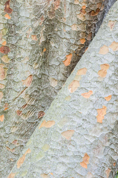 Detail of Zelkova tree trunks Stock photo © AlessandroZocc
