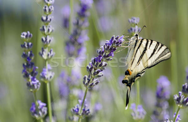 Scarce Swallowtail (Iphiclides podalirius) butterfly Stock photo © AlessandroZocc