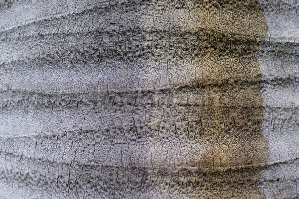 Tree Trunk detail of Chilean wine palm Stock photo © AlessandroZocc