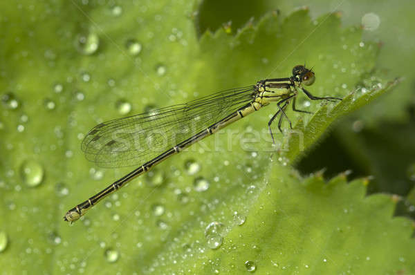 Female damselfly on leaf with rain drops Stock photo © AlessandroZocc