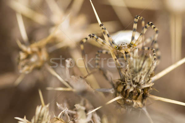 A spider camouflaged among thorns Stock photo © AlessandroZocc