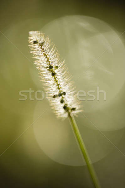 Grass seed spike close up in sun Stock photo © AlessandroZocc