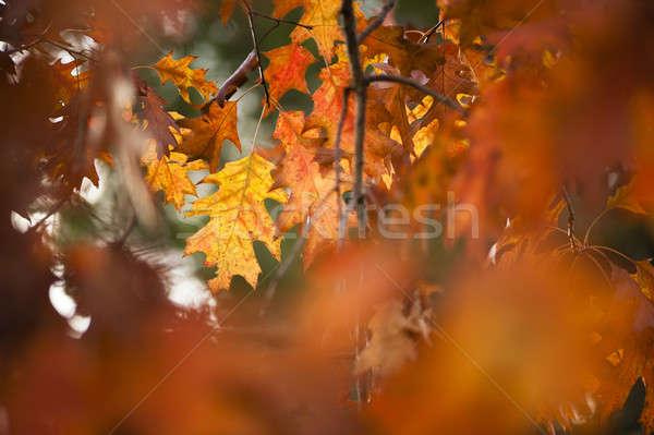詳細 オーク 葉 秋 オレンジ ブラウン ストックフォト © AlessandroZocc