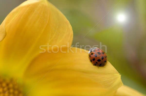 Ladybug, ladybird, on yellow Dahlia Stock photo © AlessandroZocc