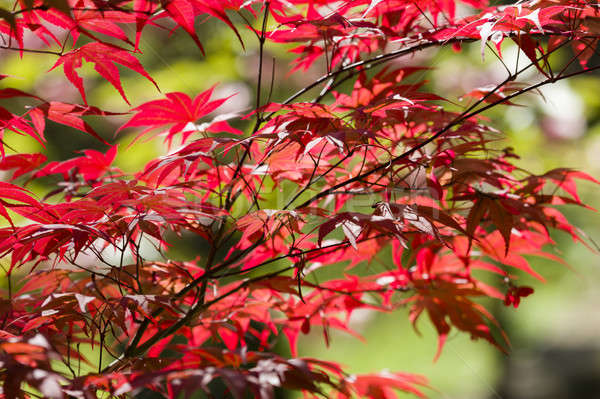 Red leaves of Maple tree Stock photo © AlessandroZocc