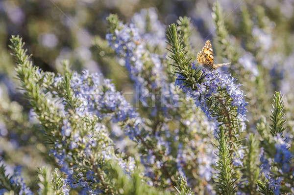 Rosemary plant closeup  Stock photo © AlessandroZocc