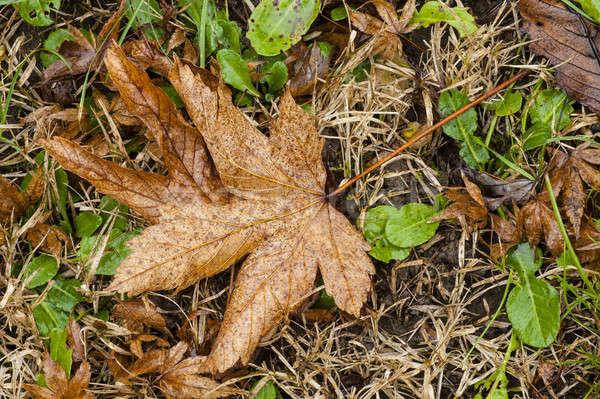 カエデの葉 メイプル ブラウン 葉 地上 冬 ストックフォト © AlessandroZocc