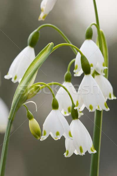 весны снежинка цветы многолетний цветения завода Сток-фото © AlessandroZocc