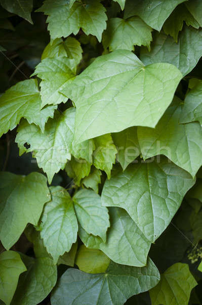 Hedera leavs, commonly called ivy, Stock photo © AlessandroZocc