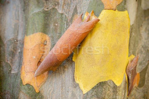 Ugatás részlet kínai birsalma lombhullató fa Stock fotó © AlessandroZocc