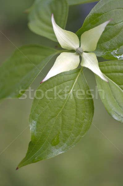 Flower and leaf of Dogwood, Cornus, Cornaceae Stock photo © AlessandroZocc