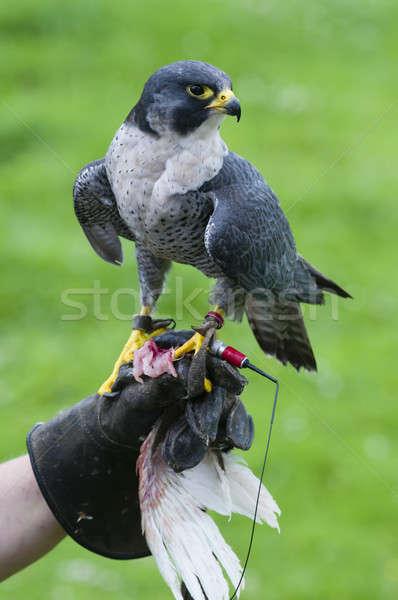 Stock photo: Peregrine Falcon (Falco peregrinus on training