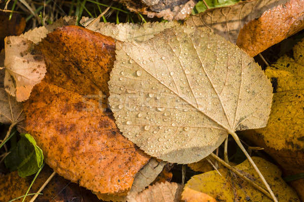 Dauw druppels bruin bladeren regen groene Stockfoto © AlessandroZocc