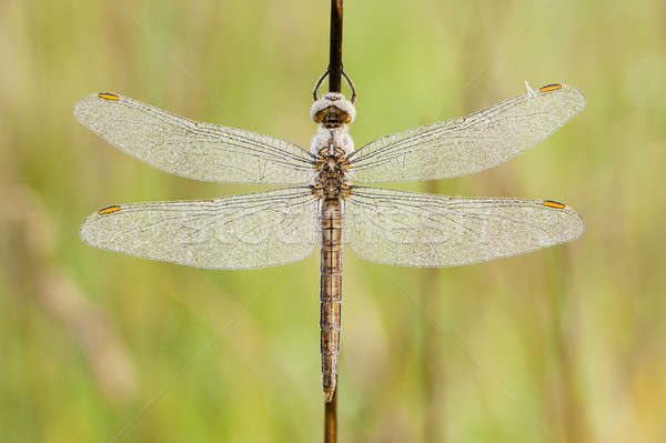 Dragonfly covered with dew drops  Stock photo © AlessandroZocc