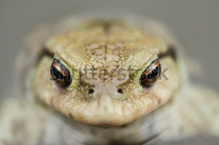 Toad in water, Bufo bufo Stock photo © AlessandroZocc