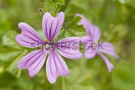 Virágok éves évelő növények család természet Stock fotó © AlessandroZocc