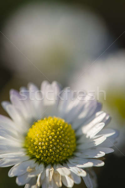 Close up of a daisy flower Stock photo © AlessandroZocc