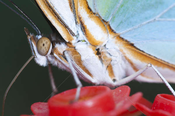 Stock photo: Macro of a tropical butterfly sucking sugar liquid from an artif