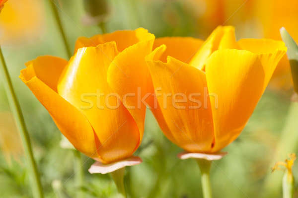 Eschscholzia californica, yellow and orange poppy wild flowers. Stock photo © AlessandroZocc