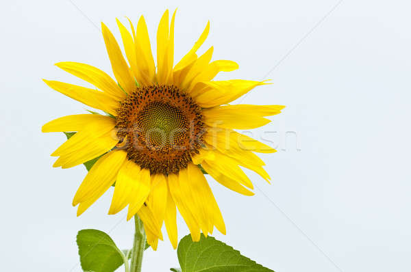 Sunflower in full bloom in summer Stock photo © AlessandroZocc