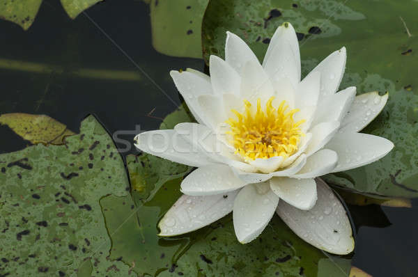 White waterlily  Stock photo © AlessandroZocc