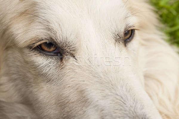 犬 眼 白 顔 フォーカス ストックフォト © AlessandroZocc