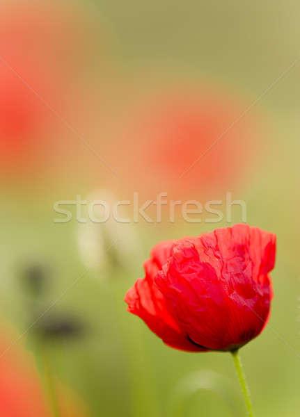 Rood poppy bloemen vol bloeien groen gras Stockfoto © AlessandroZocc