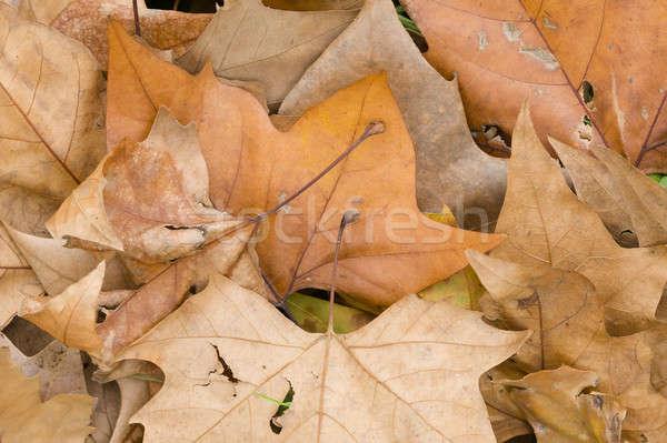 Fallen dead leaves  Stock photo © AlessandroZocc