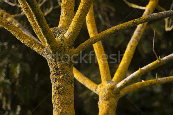 tree in winter with no leaves and yellow lichen on bark Stock photo © AlessandroZocc