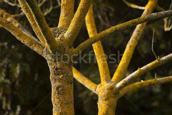 Fa tél nem levelek citromsárga ugatás Stock fotó © AlessandroZocc