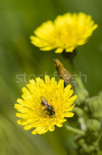 Black fly on dandelion Stock photo © AlessandroZocc